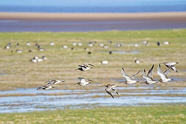 Curlew (Numenius arquata) group flying over salt marsh bordering the River Severn estuary, Gloucestershire, UK, February.
