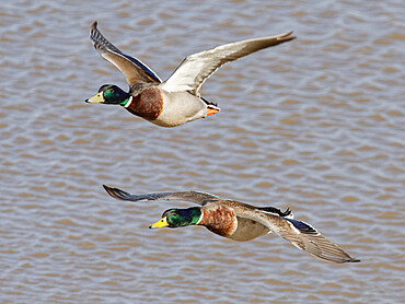 Two Mallard (Anas platyrhynchos) drakes flying over flooded pastureland, Gloucestershire, UK, February.