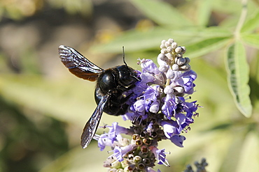 Violet carpenter bee (Xylocopa violacea) female feeding from blue flowers, Lesbos/ Lesvos, Greece. MORE INFO: Carpenter bee family Xylocopidae.