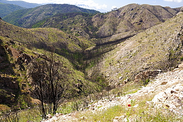 Aftermath of a major forest fire within Corsica's National Park (Parc Naturel Regional de Corse), a year on, with large area of forest and maquis scrub destroyed and first flush of regrowth by grasses and flowers, near Aullene,  Corsica, France.