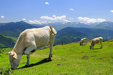 Lourdaise domestic cattle (Bos taurus) grazing montane pastureland at Col d'Aspin with Pyrenees mountain chain in the background, Haute Pyrenees, France.