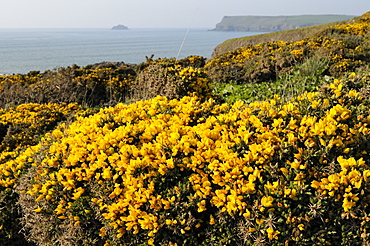 Gorse bushes (Ulex europaeus) flowering on clifftop with Pentire Head in the background, Polzeath, Cornwall, England, United Kingdom, Europe