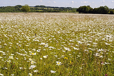 Dense carpet of Ox-eye daisies (Marguerites) (Leucanthemum vulgare) in hay meadow, Wiltshire, England, United Kingdom, Europe