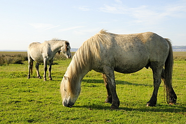 Two Welsh mountain ponies (Equus caballus) grazing Llanrhidian salt marshes, The Gower Peninsula, Wales, United Kingdom, Europe