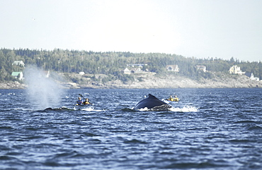 The Humpback whales (Megaptera novaeangliae) named Tic-Tac-Toe and Siam diving in close proximity to kayakers who will certainly always remember this very special encounter with these giants. The absence of an engine might make it difficult for whales to perceive kayakers. St. Lawrence estuary, Canada