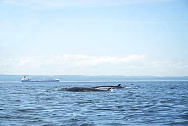Two Minke whales (Balaenoptera acutorostrata) surfacing as a pair. Whales migrating to the St. Lawrence estuary, Canada, have to share their summer feeding ground with numerous freighters along the international seaway which connects Quebec City with the Atlantic ocean.