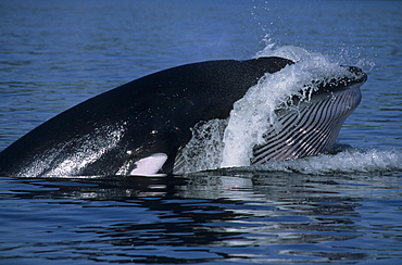 Late phase of an oblique lunge. The Minke whale (Balaenoptera acutorostrata) falls back into the water while its throat is still expanded and water is pushed out under high pressure. St. Lawrence estuary, Canada