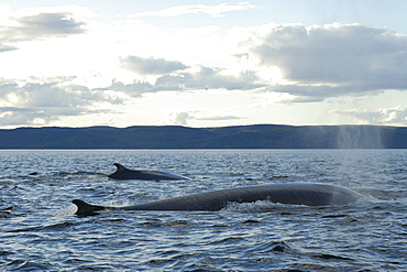 Finback whale (Balaenoptera physalus) might be seen alone or in pairs but often form groups of more than a dozen animals in order to hunt fish. St. Lawrence estuary, Canada   (RR)