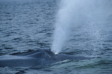 Blue whale (Balaenoptera musculus) exhaling a cloud of tiny water droplets into the air. St. Lawrence estuary, Canada