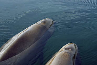 Two young Northern bottlenose whales (Hyperoodon ampullatus) resting in a loch. Isle of Skye, Scotland.
