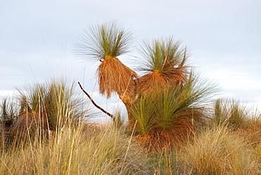Austral Grass Tree (Xanthorrhoea australis), Wild, Lake George, New South Wales, Australia - 994-10