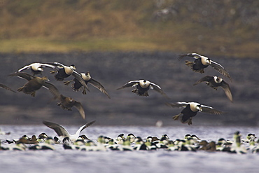 Eider male and female (Somateria mollissima) flying into land in a raft. Eiders raft together in winter, the males all squabiling together, preening, diving and flapping. Eiders come from all over to raft together , Scotland