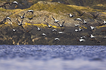 Eider male and female (Somateria mollissima) flying off after rafting. Eiders raft together in winter, the males all squabbling together, preening, diving and flapping. Eiders come from all over to raft togethe  , Scotland