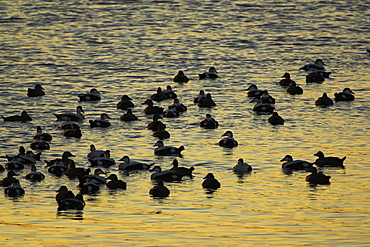 Eider Drake and female (Somateria mollissima) calling and interacting in raft with sun setting. Eiders raft together in winter, the males all squabbling together, preening, diving and flapping. Eiders come from all over to raft together, Scotland