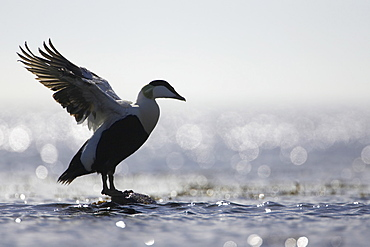 Eider Drake (Somateria mollissima) perched on rock, silhouetted against sun on water, flapping wings. Angus, Scotland, UK - 995-110
