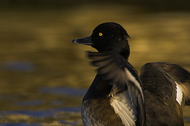 Tufted Duck (Aythya fuligula) female, close up of flapping wings while preening in a golden reflection on the water. The reflection is from early morning golden light bouncing of buildings surrounding the canal.  Scotland