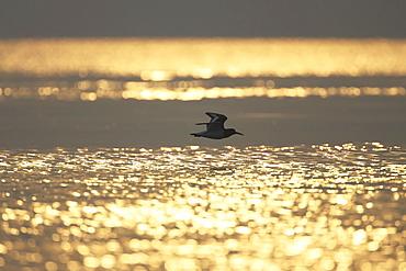 Oystercatcher (Haematopus ostralegus) flying, silhouetted against sunrise reflected in water Argyll Scotland, UK