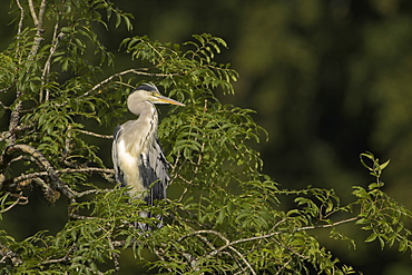 Grey Heron (Ardea cinerea) perched in a tree. Herons occasionaly roost or perch in trees. This one was perched while having a preen and stayed there for atleast 3 hours..  Argyll, Scotland