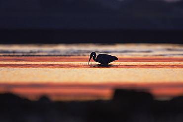 Grey Heron (Ardea cinerea), silhouetted against early morning sunlight. , Angus, Scotland, UK