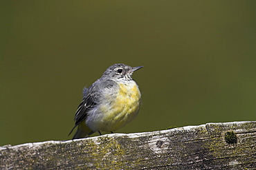 Grey Wagtail (Motacilla cinerea) with some juvenille plumage sitting on submerged fence post. Wagtails like perches over the water to preen and rest..  Argyll, Scotland