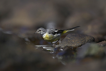 Grey Wagtail (Motacilla cinerea) with some juvenille plumage walking through water. Wagtails search for food along the shores of the loch in amongst the rocks, sometimes pausing to asses the situation..  Argyll, Scotland