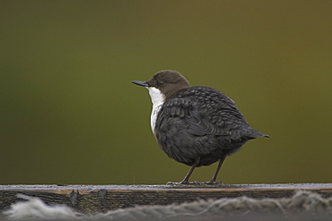 Dipper (Cinclus cinclus) perching on pier. Dippers often perch on rocks, fence posts and piers surveying the water, calling or just having a good preen.