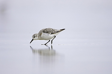 Sanderling (Calidris alba) sprinting across a shallow film of water on sandy beach, with a reflection of itself below. Soroby, Argyll,, Scotland, UK