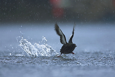 Black Guillemot (Cepphus grylle) taking off  in the middle of Oban Bay with boats in the background, in the rain.  Black Guillemots nest in drains and holes in the sea wall in the middle of Oban town centre. Argyll Scotland, UK - 995-19