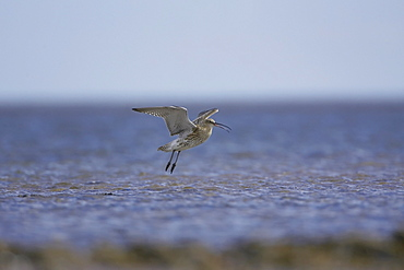 Curlew (Numenius arquata) flying and coming into land. Angus, Scotland, UK