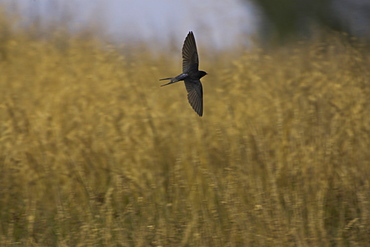 Swallow (Hirundo rustica) flying low over the meadow feeding on insects. During  summer Swallows can be found darting over a meadows surface feeding on the abundance of insects that can be found there. .  Argyll, Scotland
