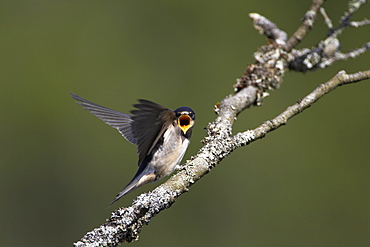 Swallow (Hirundo rustica) juvenile begging for food. Loch Awe, Argyll, Scotland, UK - 995-220
