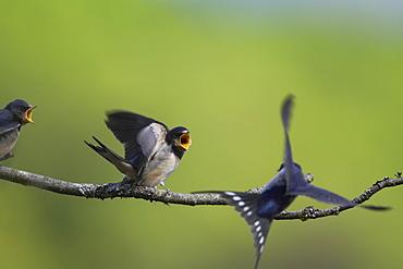 Swallow (Hirundo rustica) feeding young. Loch Awe, Argyll, Scotland, UK - 995-224