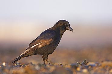 Carrion Crow (Corvus corone corone) portrait on beach while foraging. Angus, Scotland, UK