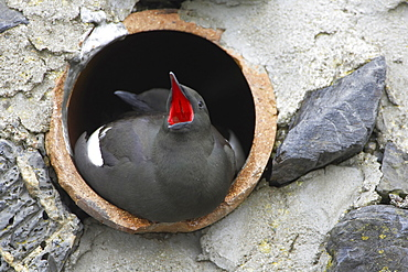 Black Guillemot (Cepphus grylle) pair sitting in a drain pipe that they are nesting in, one bird is calling. Black Guillemots nest in drains and holes in the sea wall in the middle of Oban town centre. Argyll Scotland, UK