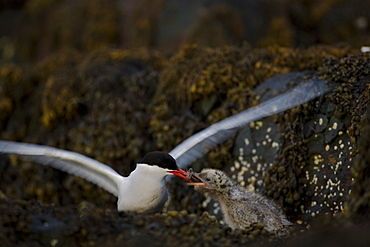 Arctic Tern (Sterna paradisaea) chick perched on rock getting fed by parent. Ganavan, Oban, Scotland, UK