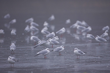Black-Headed Gull (larus ridibundus) group standing on ice in city park. Glasgow, Hyndland Park, Argyll, Scotland, UK