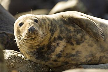 Grey Seal (Halichoerus grypus), female half body picture, lying on rocks looking up. Mull of Kintyre near Campbeltown, Argyll, Scotland, UK