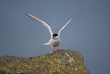 Arctic Tern (Sterna paradisaea) perched on rock flapping wings. Ganavan, Oban, Scotland, UK