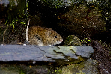 Bank Vole (Clethrionomys glareolus) sitting in a hole in an old wall. Inverawe, Loch Awe, nr Oban, Scotland, UK