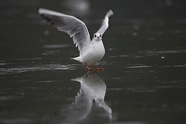 Black-Headed Gull (larus ridibundus) taking of from ice on a frozen pond in Glasgow city centre front on view. Glasgow, Hyndland Park, Argyll, Scotland, UK