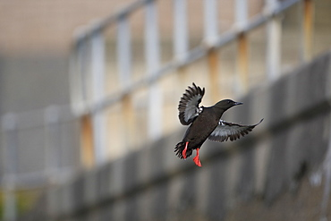 Black Guillemot (Cepphus grylle) flying with out of focus wall and fence in background. Oban Bay, Argyll, Scotland, UK