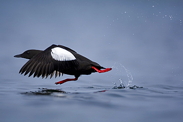 Black Guillemot (Cepphus grylle) taking off from water. Oban Bay, Argyll, Scotland, UK