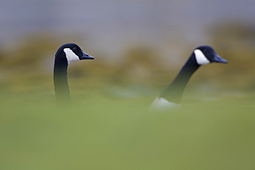 Canada Goose (Branta canadensis) head shot of two geese, with body hidden by coastal  grassy knolls. Isle of Mull, Argyll and the Islands, Scotland, UK