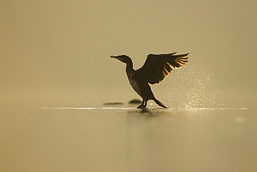Cormorant (Phalacrocorax carbo) standing on rock with light behind drying wings, sun setting.Water spray from wings.. Kilchrenan, on the banks of Loch Awe, Argyll,, Scotland, UK