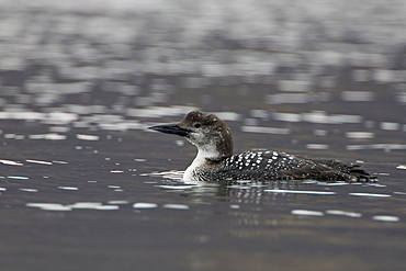 Great Northern Diver (Gavia immer) swimming in water. Moulting  from summer plumage to winter plumage..  Isle of Mull, Argyll and the Islands, Scotland, UK