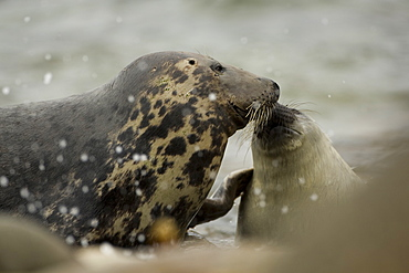 Grey Seal (Halichoerus grypus), female with pup, female is nosing pup to reaffirm parent pup bond.. Mull of Kintyre near Campbeltown, Argyll, Scotland, UK - 995-351