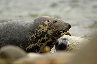 Grey Seal (Halichoerus grypus), female with pup, female is scratching pups head to induce feeding.. Mull of Kintyre near Campbeltown, Argyll, Scotland, UK