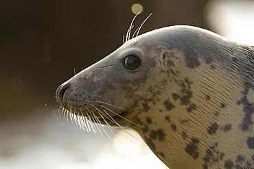Grey Seal (Halichoerus grypus), female close up head shot with wet fur. Mull of Kintyre near Campbeltown, Argyll, Scotland, UK