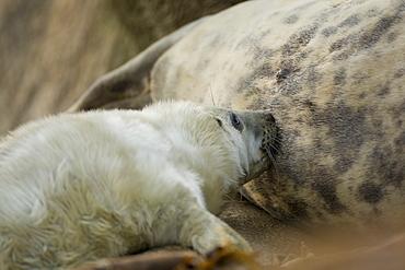 Grey Seal (Halichoerus grypus) close up shot of pup feeding, taken on rocky beach in the west coast of Scotland. Mull of Kintyre near Campbeltown, Argyll, Scotland, UK