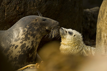 Grey Seal (Halichoerus grypus), female with pup, female is nosing pup to reaffirm parent pup bond.. Mull of Kintyre near Campbeltown, Argyll, Scotland, UK